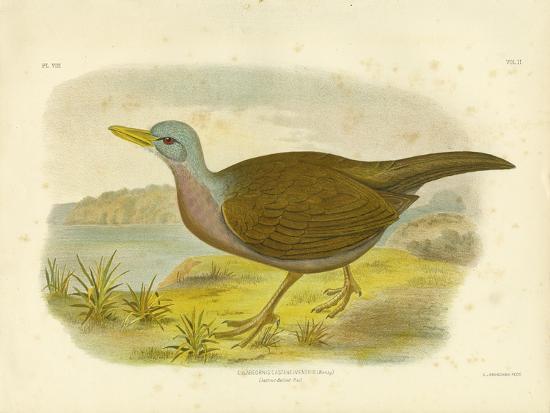 gracius-broinowski-chestnut-bellied-rail-1891