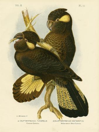 gracius-broinowski-funereal-cockatoo-1891
