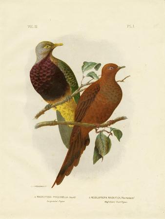 gracius-broinowski-large-tailed-pigeon-or-brown-pigeon-or-brown-cuckoo-dove-1891