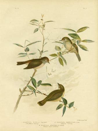 gracius-broinowski-little-brown-thornbill-1891
