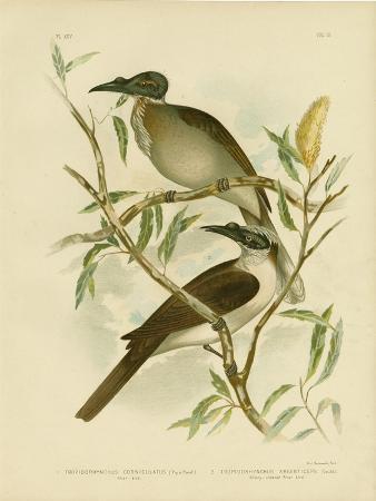 gracius-broinowski-noisy-friarbird-1891
