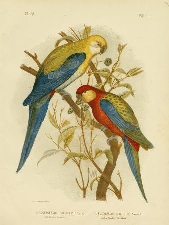 gracius-broinowski-pale-headed-parakeet-or-pale-headed-rosella-1891