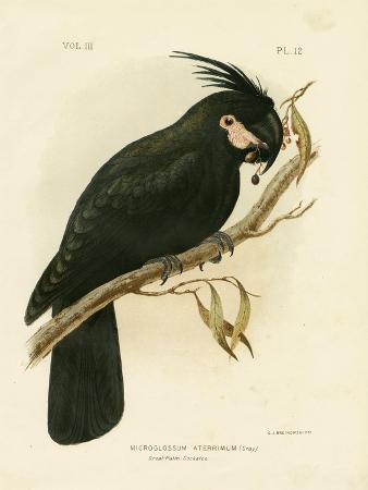 gracius-broinowski-palm-cockatoo-1891