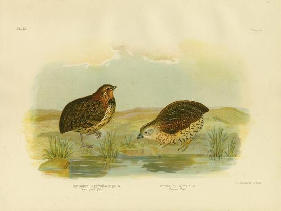 gracius-broinowski-pectoral-quail-1891