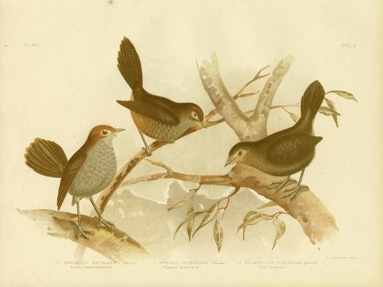 gracius-broinowski-rufescent-scrub-bird-1891