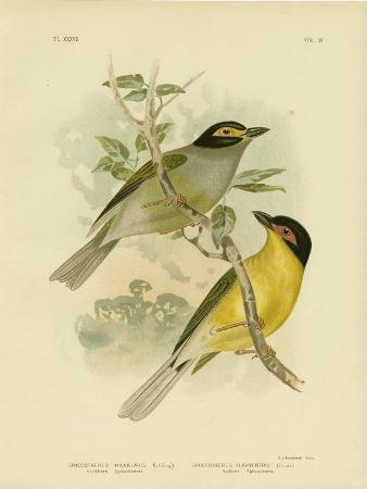 gracius-broinowski-southern-sphecotheres-or-australasian-figbird-1891