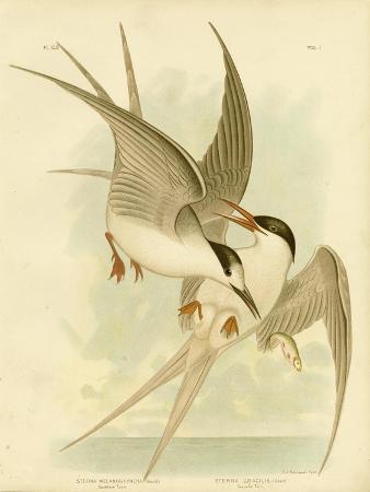 gracius-broinowski-southern-tern-1891