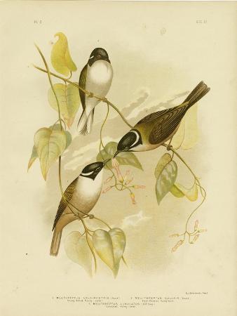 gracius-broinowski-strong-billed-honeyeater-1891