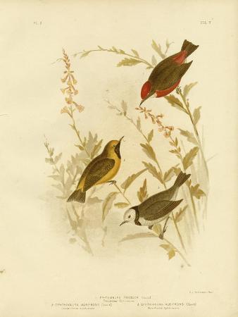 gracius-broinowski-tricolored-ephthianura-1891