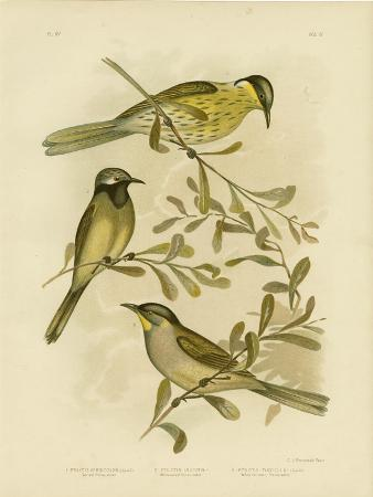 gracius-broinowski-varied-honeyeater-1891