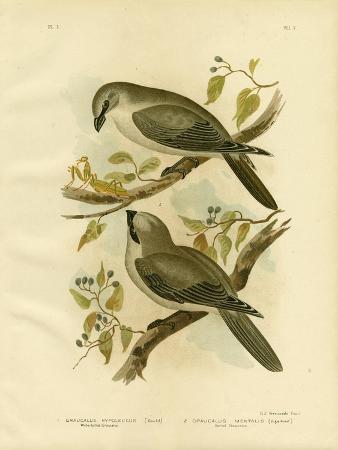 gracius-broinowski-white-bellied-cuckoo-shrike-1891