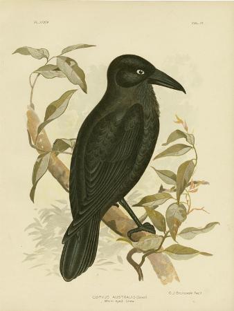 gracius-broinowski-white-eyed-crow-or-australian-raven-1891