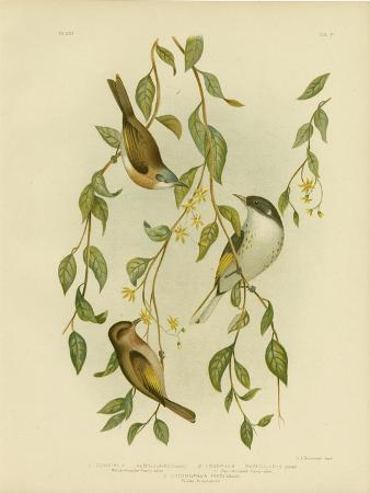 gracius-broinowski-white-throated-honeyeater-1891