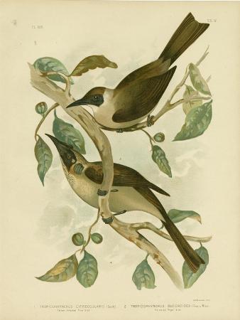 gracius-broinowski-yellow-throated-friarbird-or-little-friarbird-1891