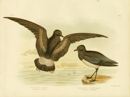 gracius-broinowski-yellow-webbed-storm-petrel-1891