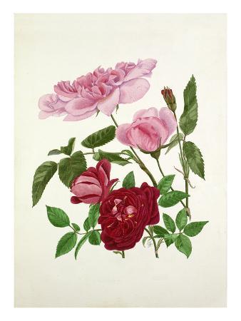 graham-stuart-thomas-rosa-madame-de-sancy-de-parabere-rosa-amadis