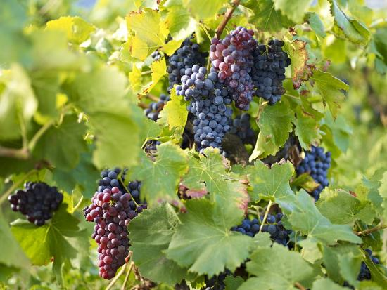 grapes-on-vines-languedoc-roussillon-france-europe