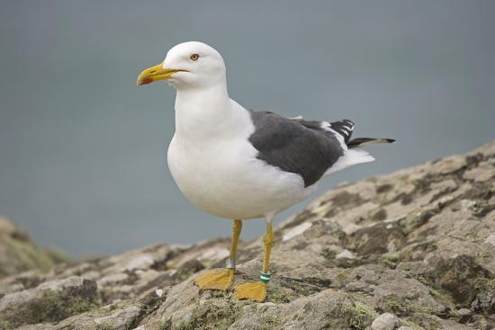 great-black-backed-gull