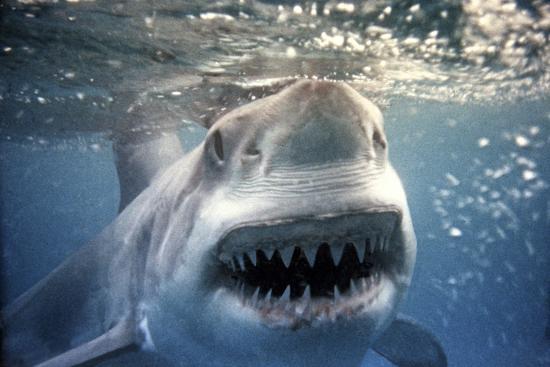 great-white-pointer-shark
