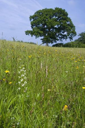 greater-butterfly-orchid-platanthera-chlorantha-flowering-on-hay-meadow-on-set-aside-field-in-rur