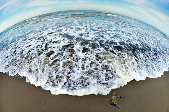 green-sea-turtle-chelonia-mydas-hatchling-tortuguero-costa-rica