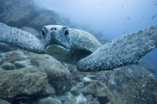 green-turtle-in-the-galapagos-islands