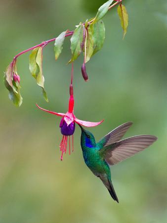 green-violetear-colibri-thalassinus-feeding-savegre-costa-rica