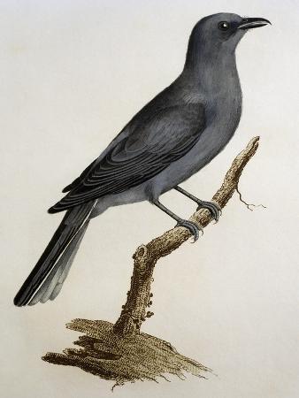 grey-cuckooshrike-coracina-caesia