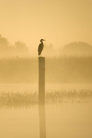 grey-heron-on-post-in-misty-dawn