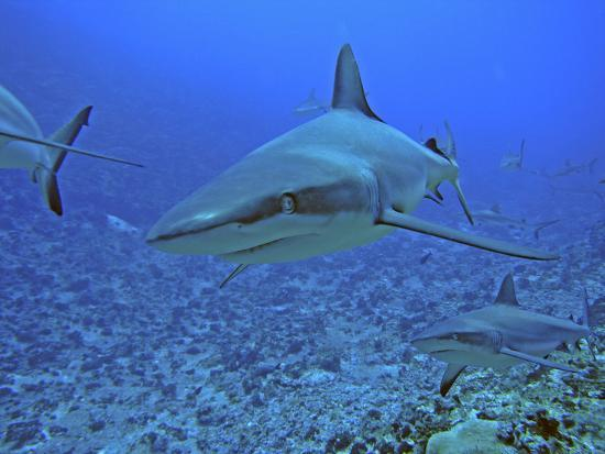 grey-reef-sharks