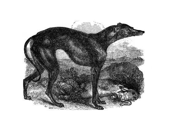 greyhound-1848