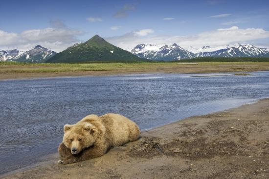grizzly-bear-resting