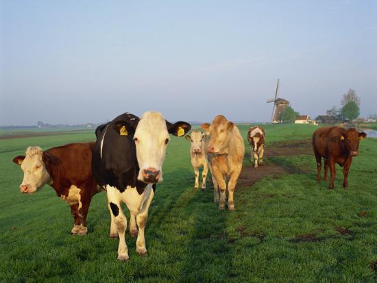 groenendijk-peter-cows-on-a-polder-in-the-early-morning-with-a-windmill-in-the-background-in-holland-europe
