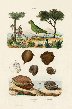ground-parrot-1833-39