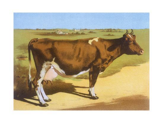 guernsey-cow-1899