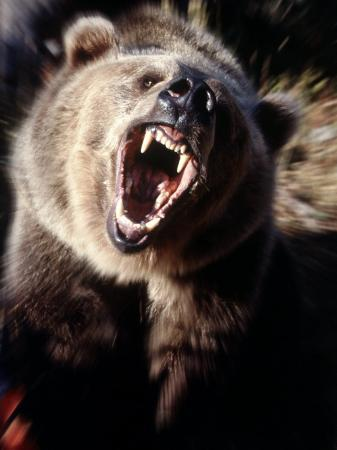 guy-crittenden-grizzly-bear-growling