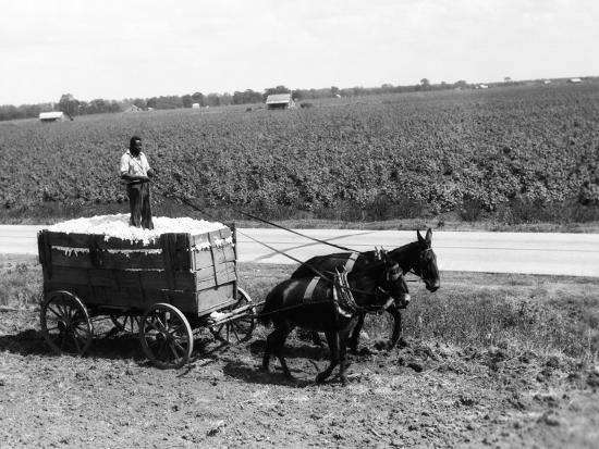 h-armstrong-roberts-african-american-farmer-standing-in-cart-filled-with-cotton-drawn-by-mules-louisiana
