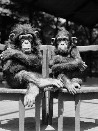 h-armstrong-roberts-two-baby-chimpanzees-sitting-in-chairs-with-their-arms-and-legs-folded