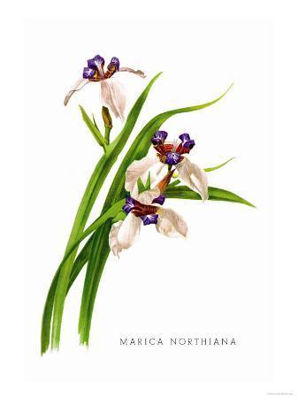 h-g-moon-marica-northiana