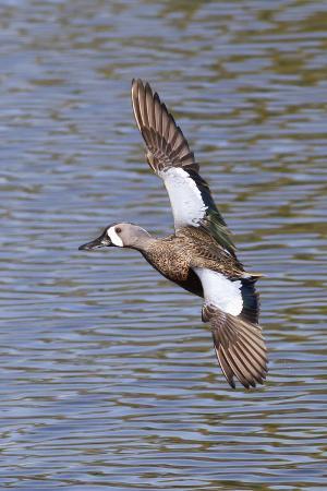 hal-beral-blue-winged-teal-drake-in-flight
