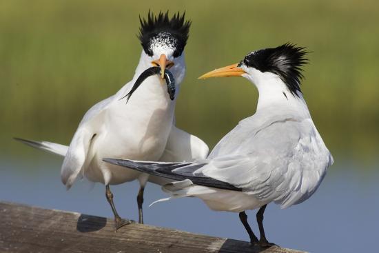 hal-beral-elegant-tern-offers-fish-to-potential-mate