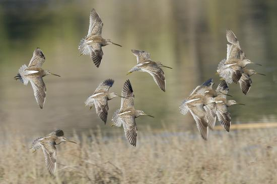 hal-beral-flock-of-short-billed-dowitchers-in-flight