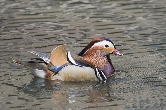 hal-beral-mandarin-duck-drake