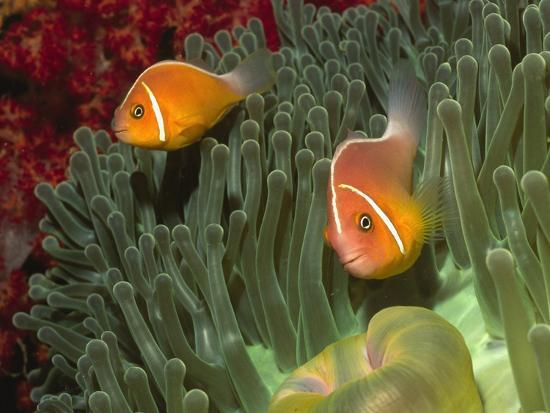 hal-beral-pink-anemonefish-in-magnificant-sea-anemone