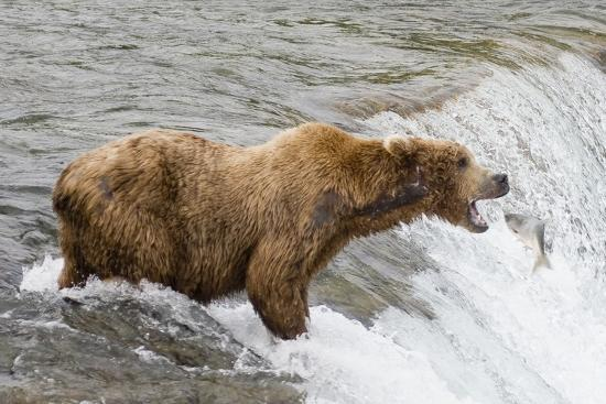 hal-beral-salmon-leaps-into-the-mouth-of-a-brown-grizzly-bear