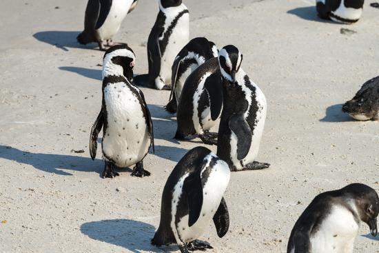 handmadepictures-african-penguins-at-simonstown-south-africa
