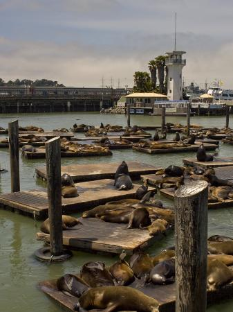 hannele-lahti-sea-lions-bathe-on-the-wooden-docks-in-the-san-francisco-bay