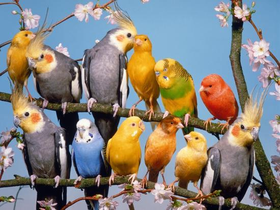 hans-reinhard-canaries-budgies-and-cockatiels-perched-together