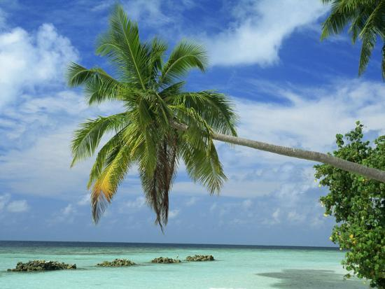 harding-robert-palm-tree-on-the-tropical-island-of-nakatchafushi-in-the-maldive-islands-indian-ocean