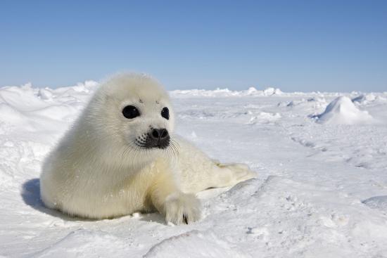 harp-seal-pup